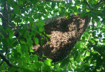 tổ ong rừng, cong dung cua mat ong