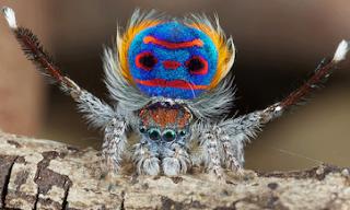 Portraits croisés: l'araignée Paon et les oiseaux du Paradis