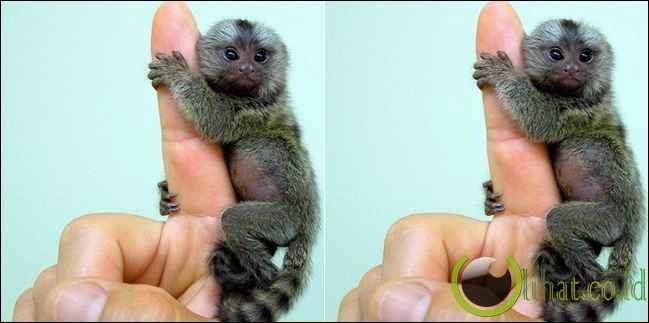 Pygmy marmoset monkey