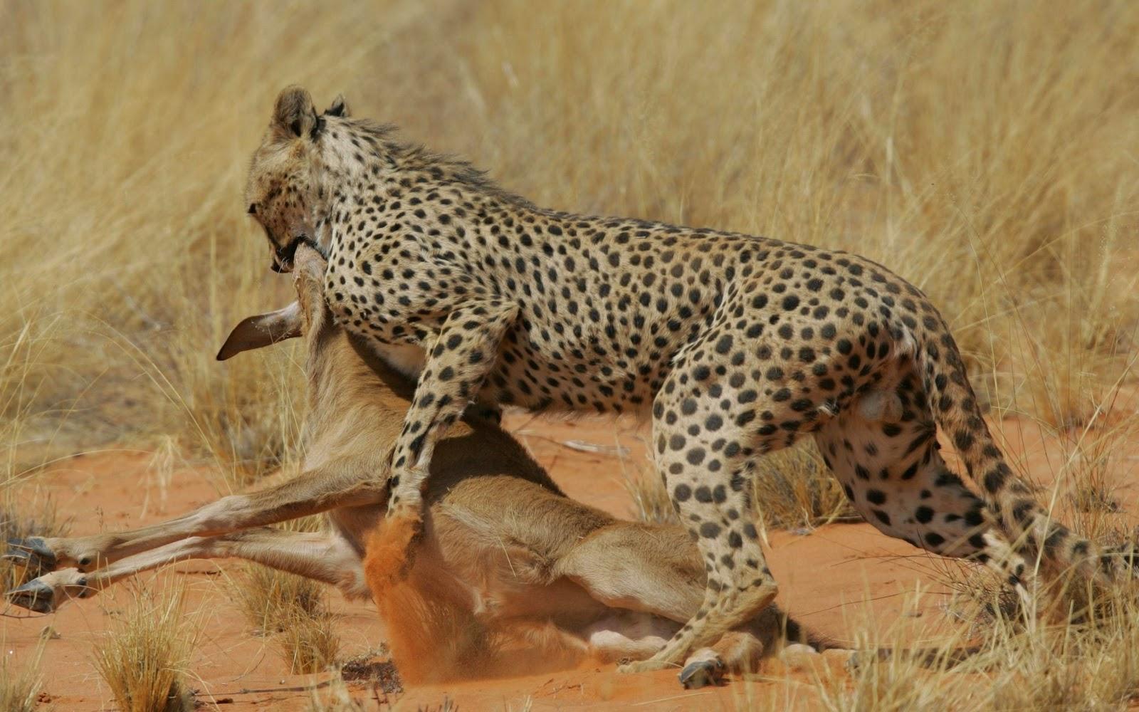 FotoFoto Singa Macan Harimau Cheetah di Alam Liar