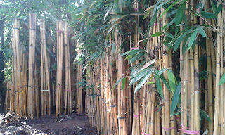 Jual Bambu Hias,Bambu Kuning,Bambu Panda
