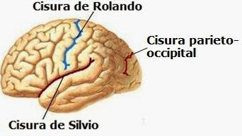 Lobulos Del Cerebro Tratamientoictus Com