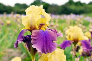 plantes vivances, planter des iris