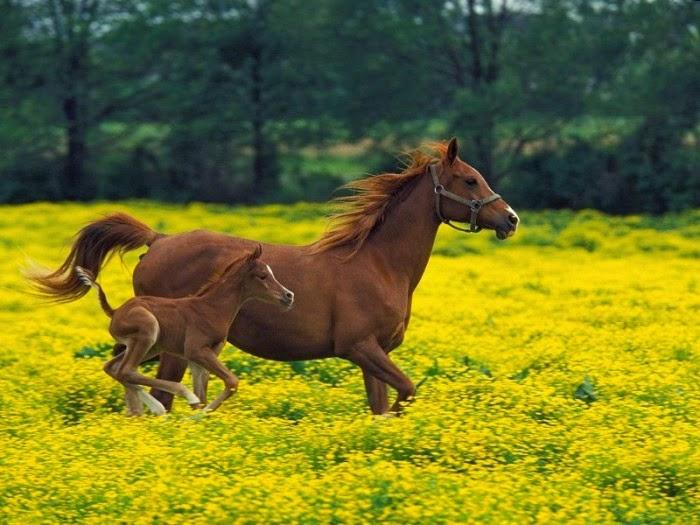 Imagen de yegua al galope con su cria en una pradera