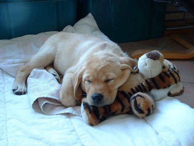 Labrador-Puppy-sleeping-with-dog-fluffy-toy