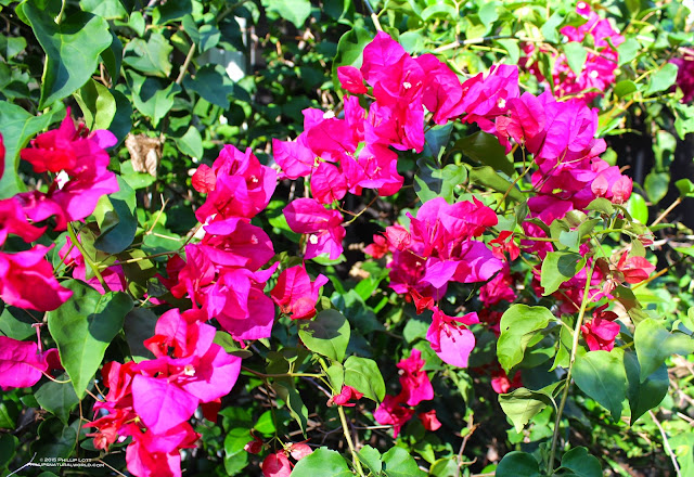 Floridas thorniest native plants phillips natural world bougainvillea is a genus of extremely thorny ornamental vines bushes and trees with flower like colorful leaves bracts near its generally small white mightylinksfo