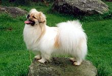 Tibetan Spaniel dog outdoor