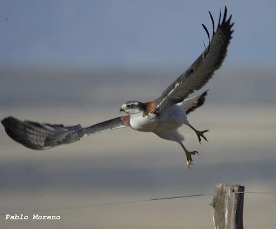 """alt=""""aguilucho comun,Geranoaetus polyosoma,aves de Mendoza,rapaces de Mendoza"""""""