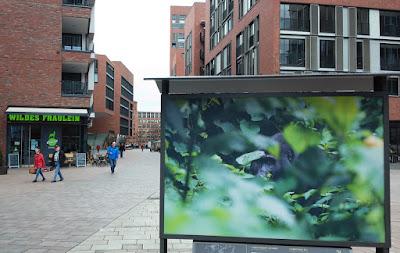 Fußgängerzone Hafencity Hamburg, Gorilla in Fotoausstellung