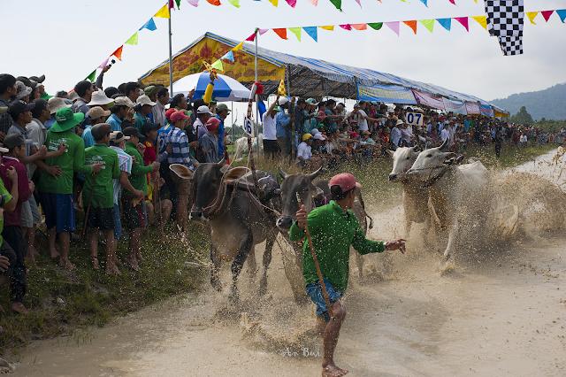 Lễ hội đua bò hàng năm tại An Giang
