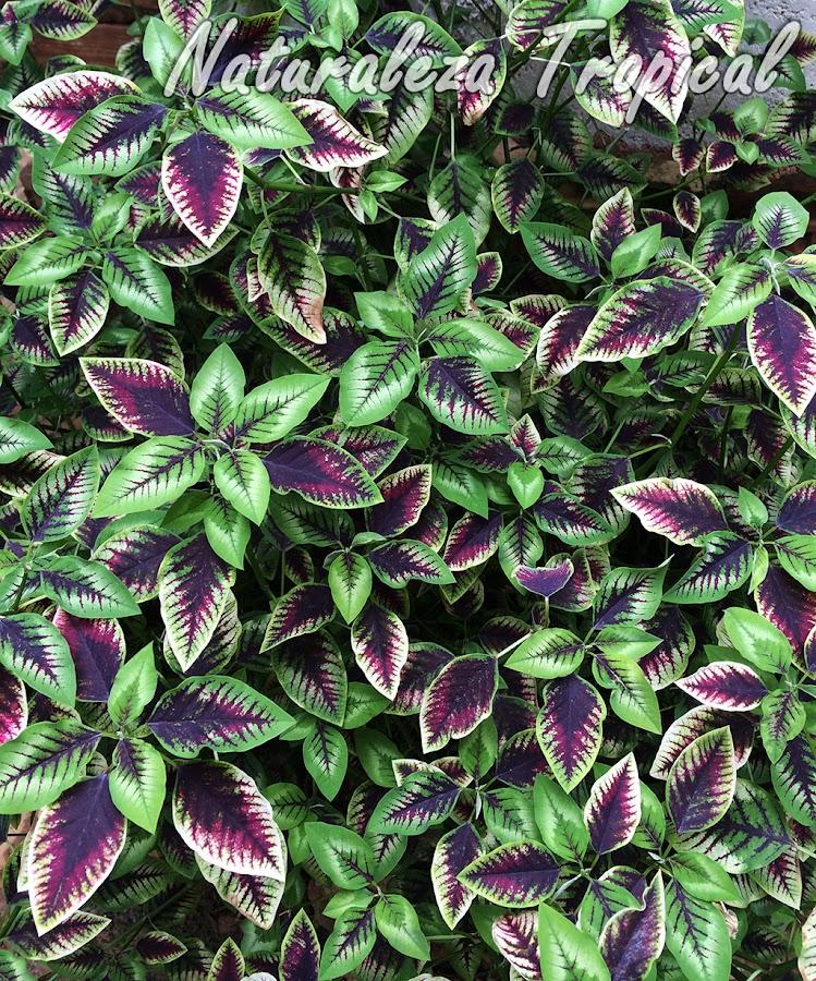 Otra imagen de la planta ornamental Euphorbia Flame Leaf