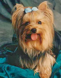 cachorros-pequeno-yorkshire-terrier