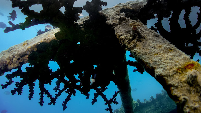Old corals at the shipwreck in Tonga