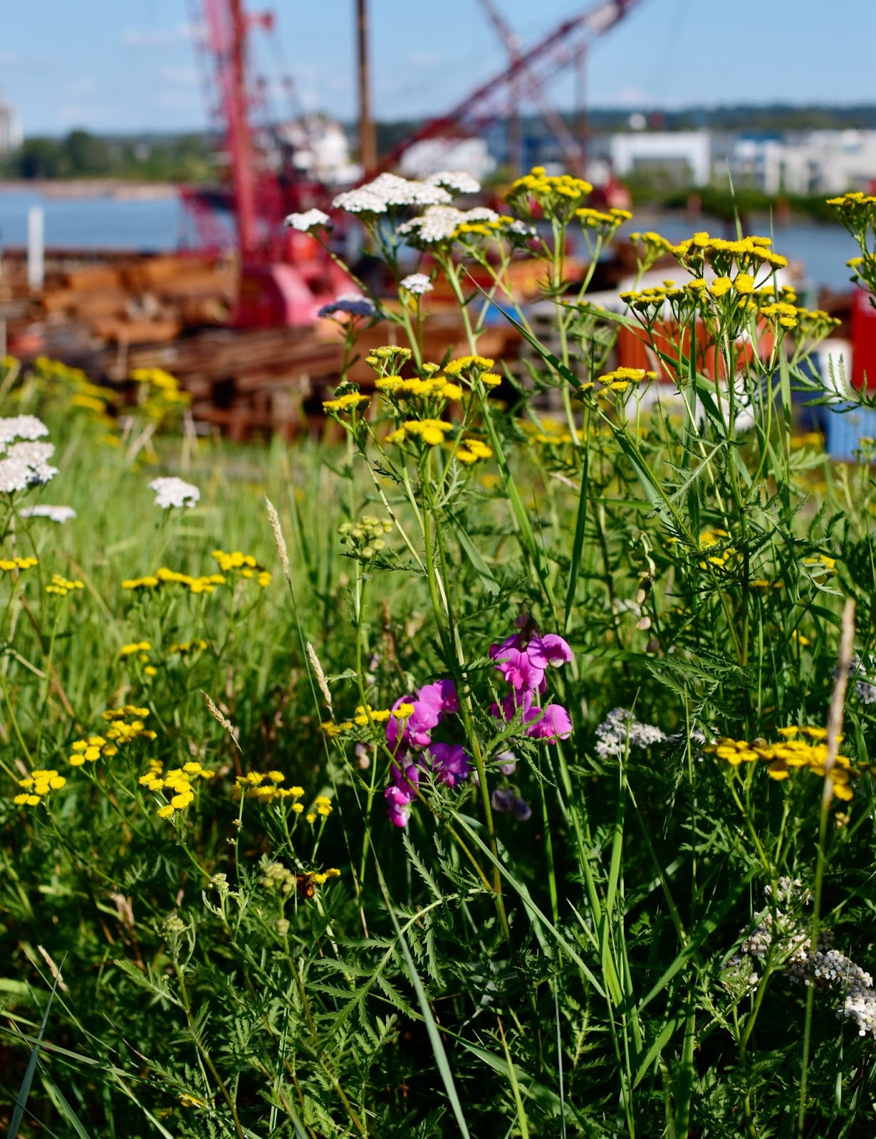wildflowers on the bank of the Fraser River, Vancouver