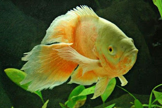 Jenis Ikan Oscar dan Harganya, Oscar Veiltail