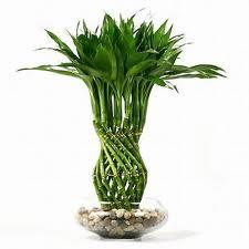 نبات البامبو Index