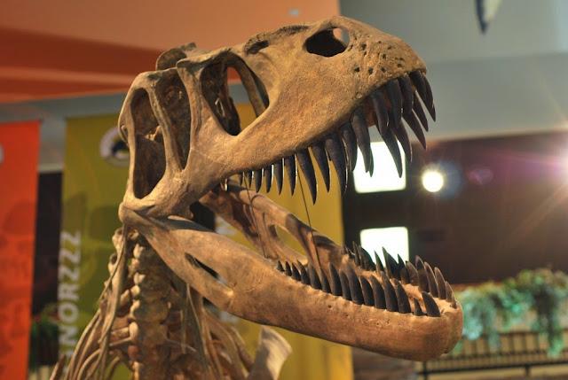 dinossauro-Crânio-Torvosaurus