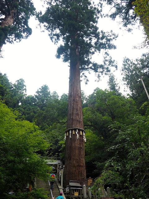 Pine tree on the hiking path from Kurama to Kibune, Kyoto, Japan