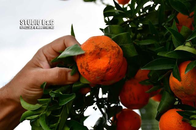 Κρατικές οικονομικές ενισχύσεις στους μανταρινοπαραγωγούς διεκδικεί ο Δήμος Ναυπλιέων