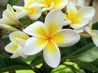 Manfaat tanaman Kamboja