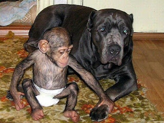 A Mothering Dog Adopts A Baby Chimpanzee