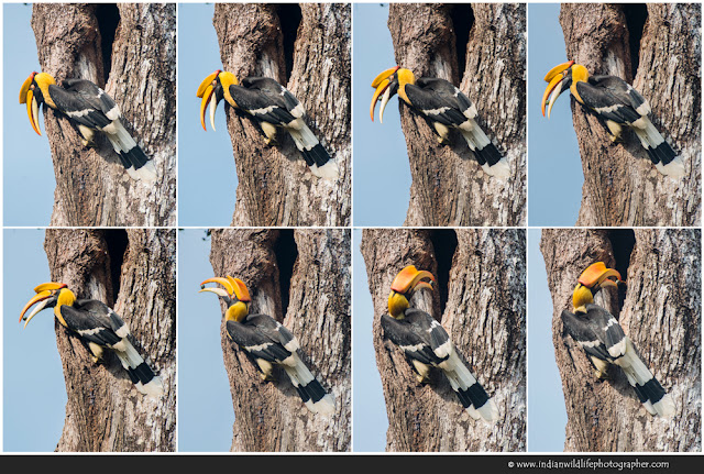 Hornbill feeding, great hornbill, Buceros bicornis, great Indian hornbill, great pied hornbill