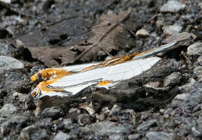 Straight-lined Mapwing (Cyrestis nivea)