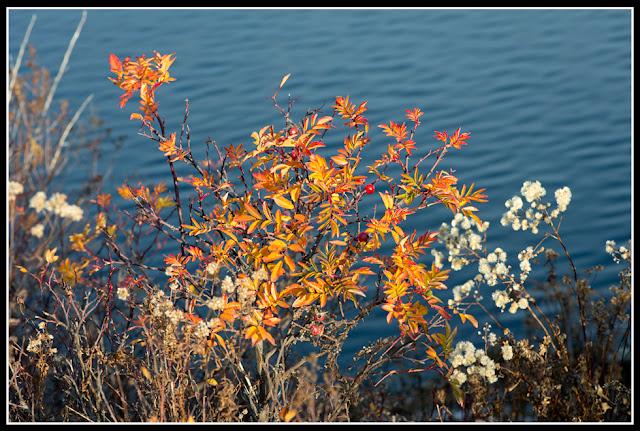 Nova Scotia; Nature; Autumn; Roses: Inlet; Typha; Cattail