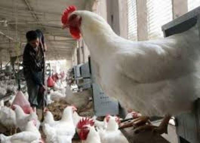 إضراب النقل ونشاط السماسرة يرفعان أسعار الدجاج إلى 25 درهماً