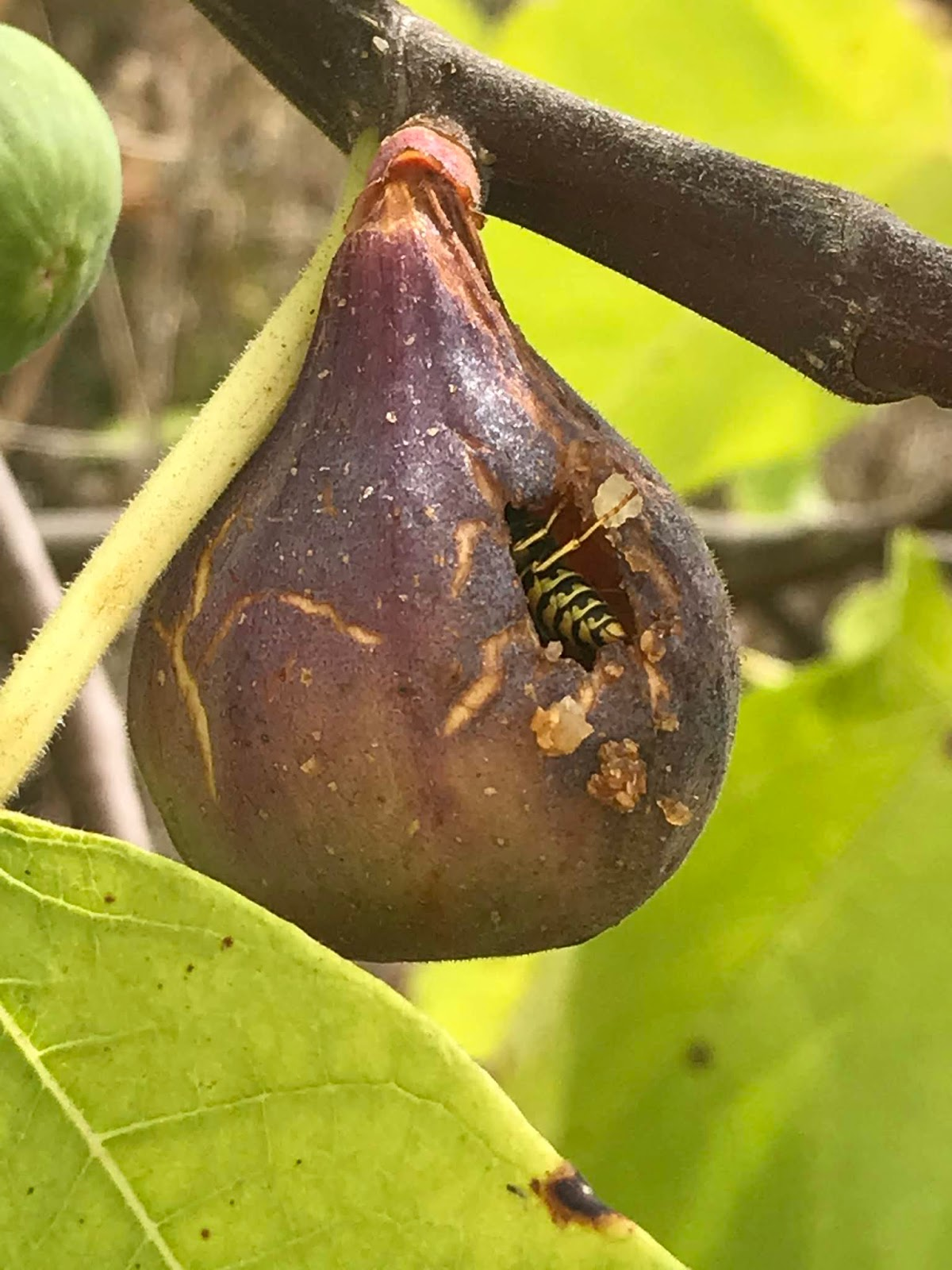 yellow jacket inside fig