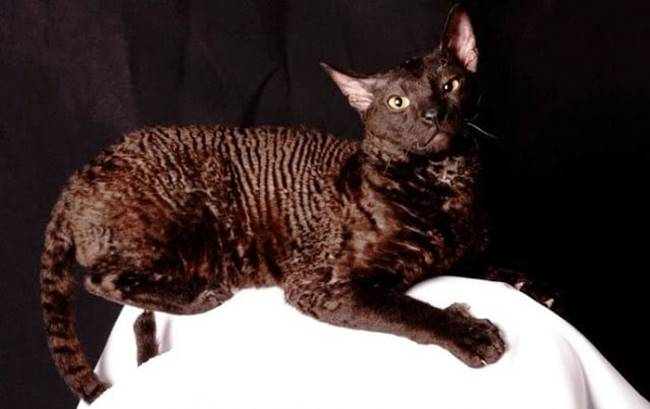 This is a little talkative breed. The process of molting these cats for some reason difficult, so the owner must prepare for the fact that he will have to pull out the wool. In addition, they have very sensitive skin that can easily dry out.