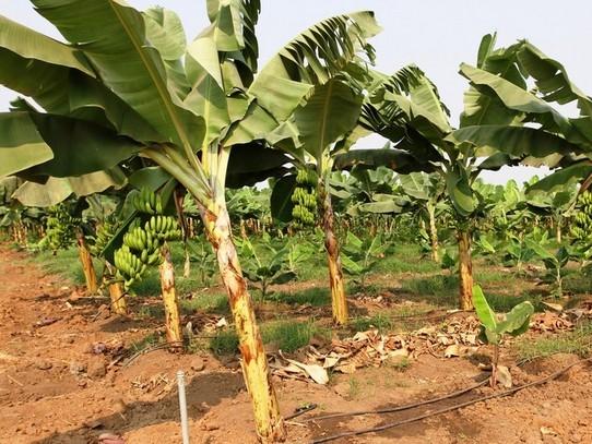 Banani in Angola