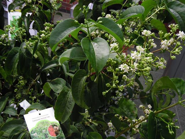 Konkurs Roślin Nowości, Heptacodium miconioides Tianshan