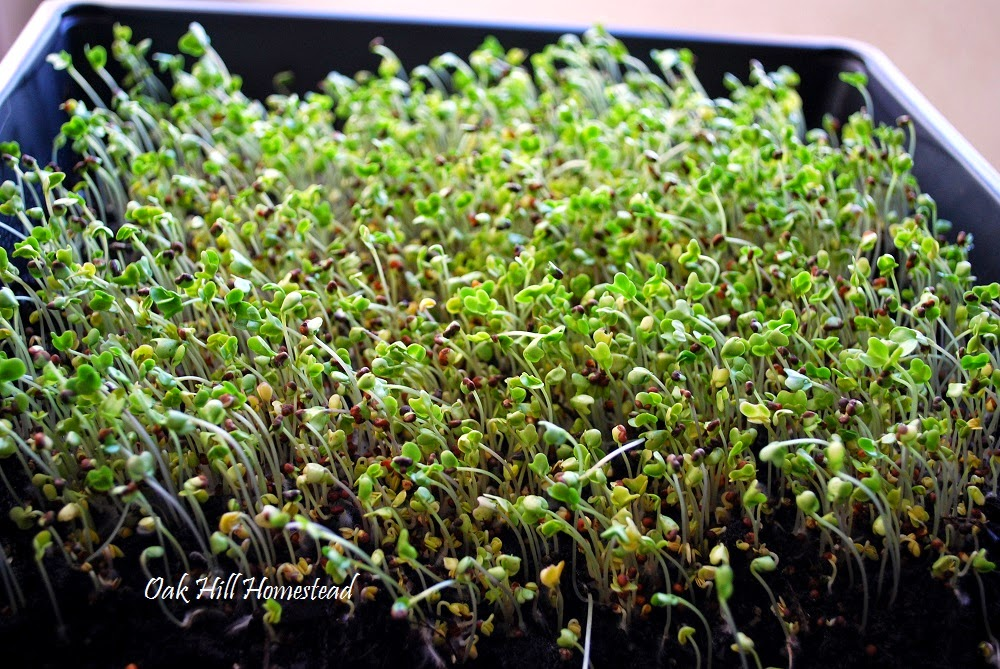 How to grow broccoli sprouts indoors for fast, nutritious food.