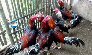 Panduan ternak ayam bangkok khusus pemula
