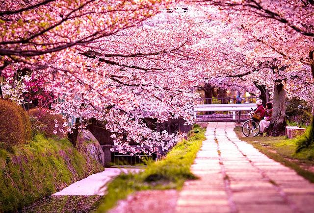 """Đam mê du lịch: """"Mãn nhãn"""" với mùa hoa anh đào ở các nước trên thế giới"""
