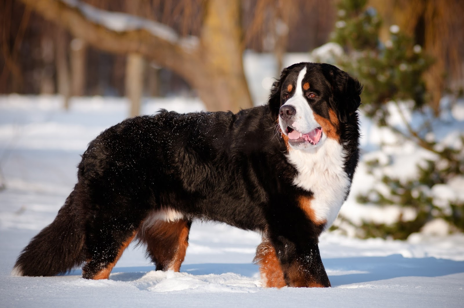 Petland Naperville: Bernese Mountain Dog—You Don't Have to