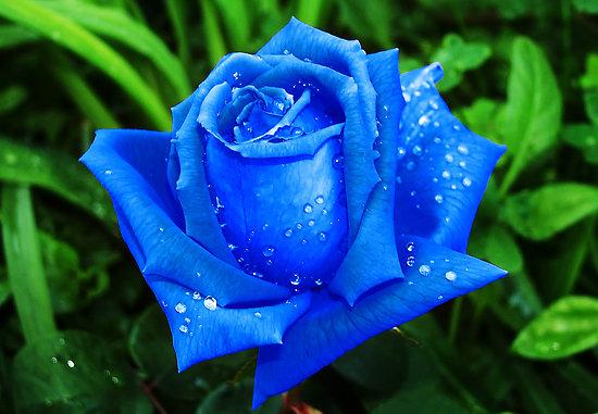 Resultado de imagem para imagens de lindas rosas azuis