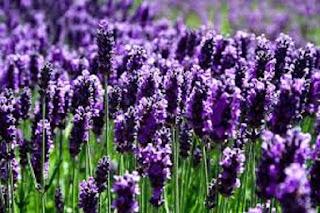 Lavender flower - berbagaireviews.com