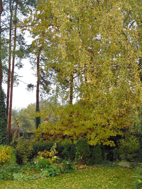 brzoza brodawkowata i dąb czerwony jesienią