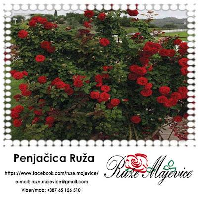 Ruže Penjačice (padajuće) - Akrobate u raskošnom svetu ruža