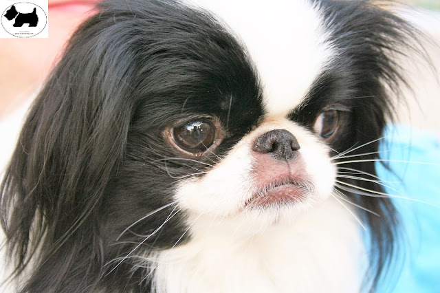 Cutest Dog Breeds, Best Dog, Japanese Chin Dog