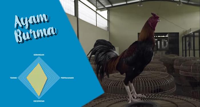 karakteristik ayam burma