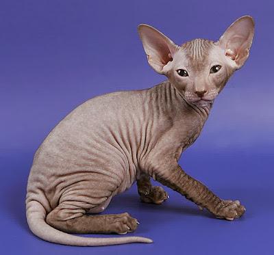 Kucing Peterbald - Sekitar Dunia Unik