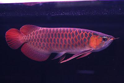 Ikan hias air tawar ikan arwana ciri ciri