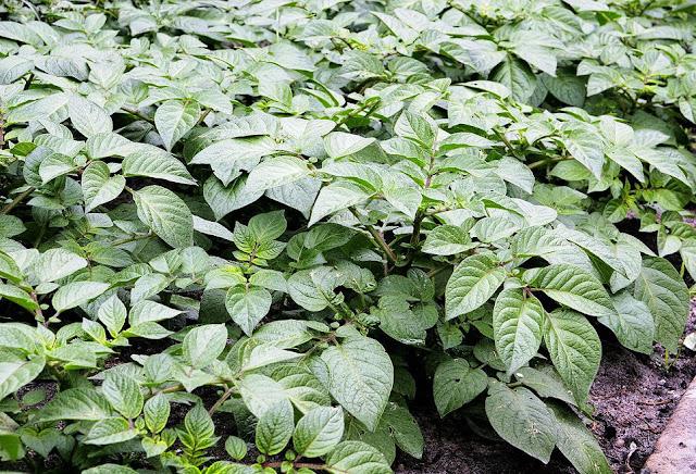 Một giống Khoai Tây - Solanum tuberosum - Nguyên liệu làm thuốc Chữa Tê Thấp và Đau Nhức