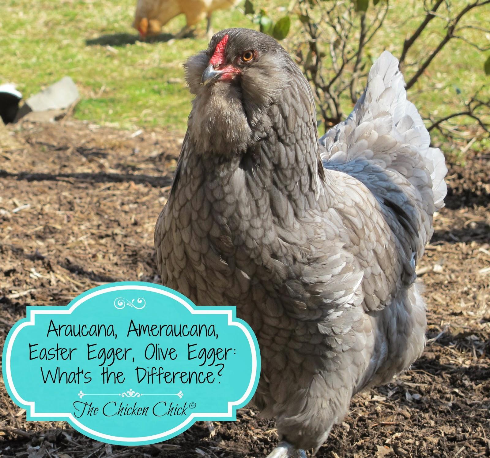 What Chickens Lay Jumbo Eggs