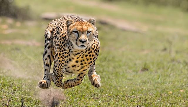 30 Fakta Menakjubkan Tentang Cheetah