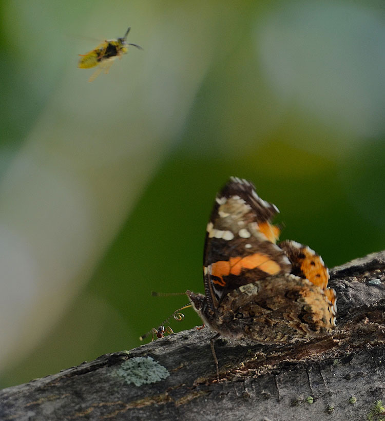 Red Admiral butterfly with curled proboscis prepares for attack from a bee while protecting its sap flow.