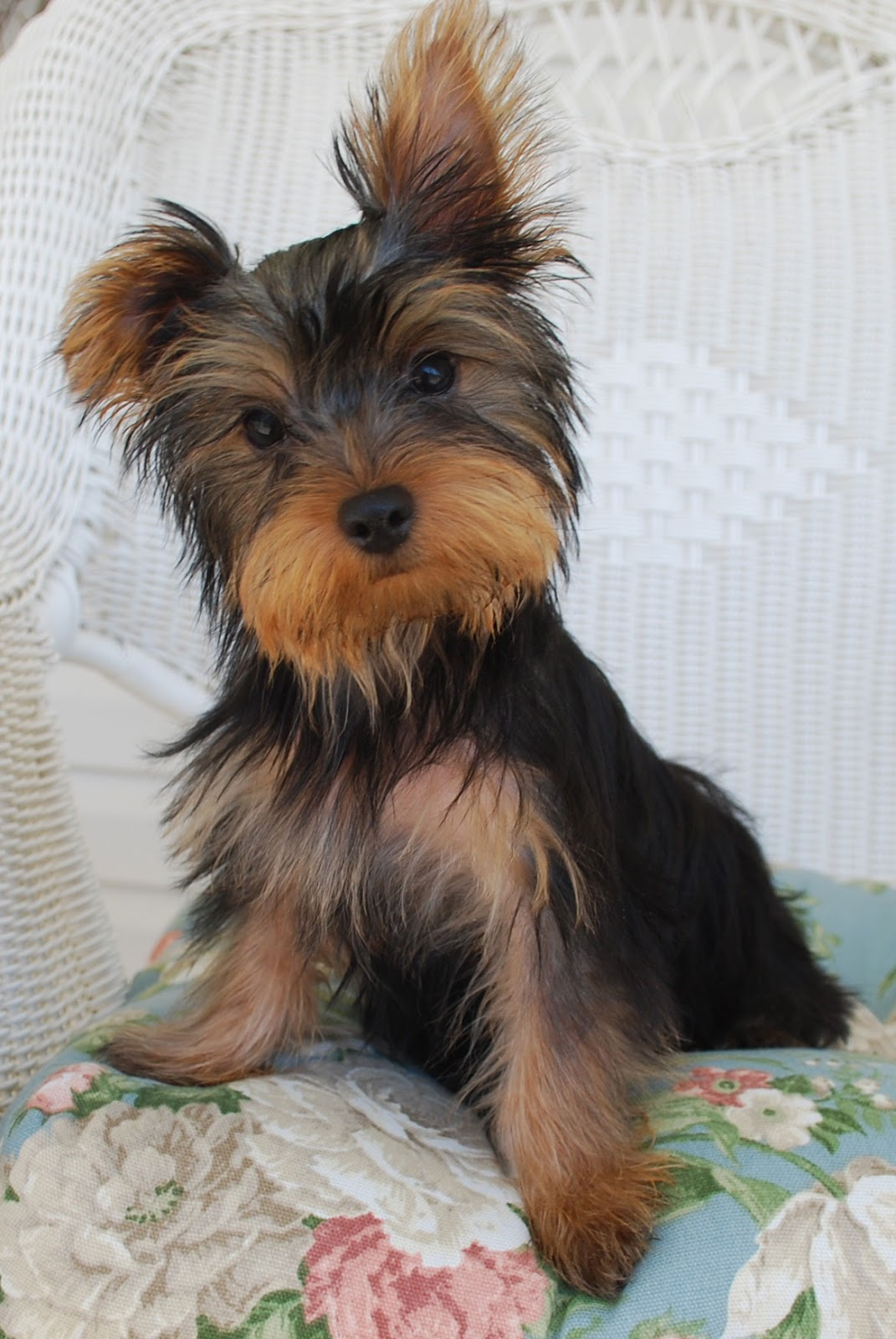 a792e86b3e292 Yorshire Terrier   Yorkshire   Yorkie